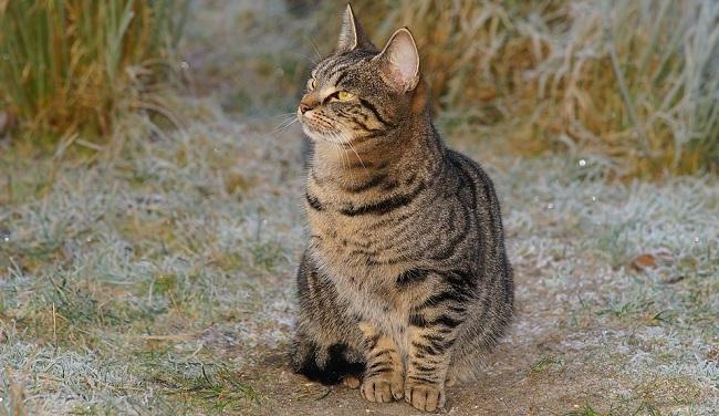 dlakave mačke crne ženke